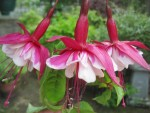 BGs' Visit to Fuchsia garden June 2015