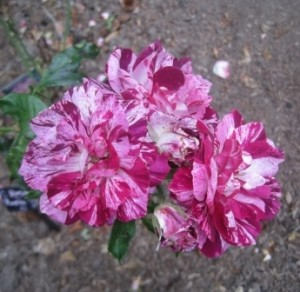 Rosa Purple Tiger
