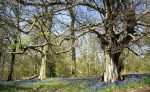 BGs' Bluebell Woods visit – May 2016