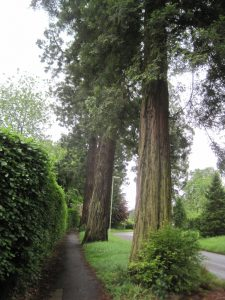 The Sequoia Wellingtonian trees up Crowley Drive