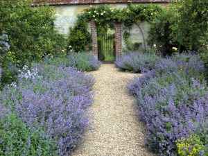 The Lavender walk in the walled garden