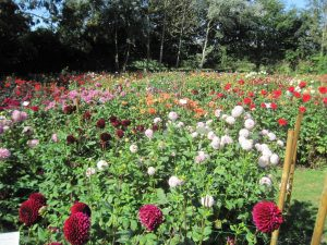"A veritable ""Persian Carpet"" of Dahlias !!"